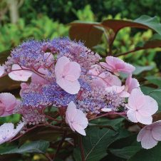 Fluweelhortensia 'Hot Chocolate'