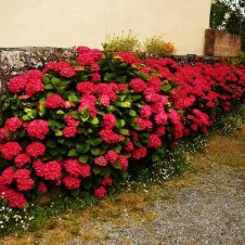 Boerenhortensia 'Hot Red'