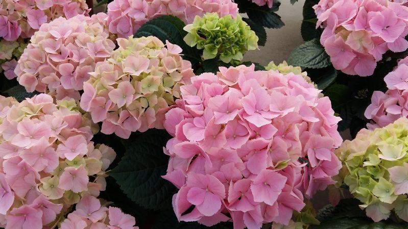 Boerenhortensia 'Pink Sensation'