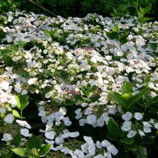 Boerenhortensia 'Teller White'