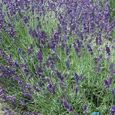 Lavendel Lavandula angustifolia Hidcote Borderplant