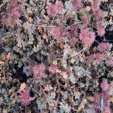 Stekelnootje Acaena microphylla Kupferteppich Bodembedekker