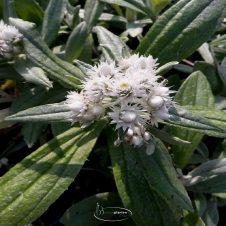 Anaphalis triplinervis - Siberische Edelweiss