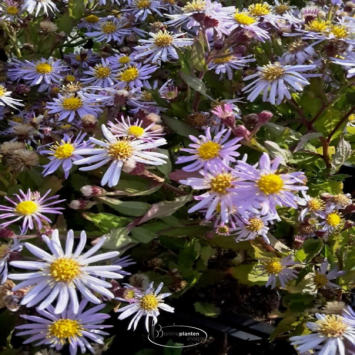 Aster ageratoides 'Asran'- Aster