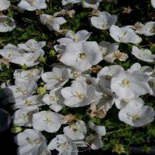 Campanula carpatica 'Weisse Clips' - klokje