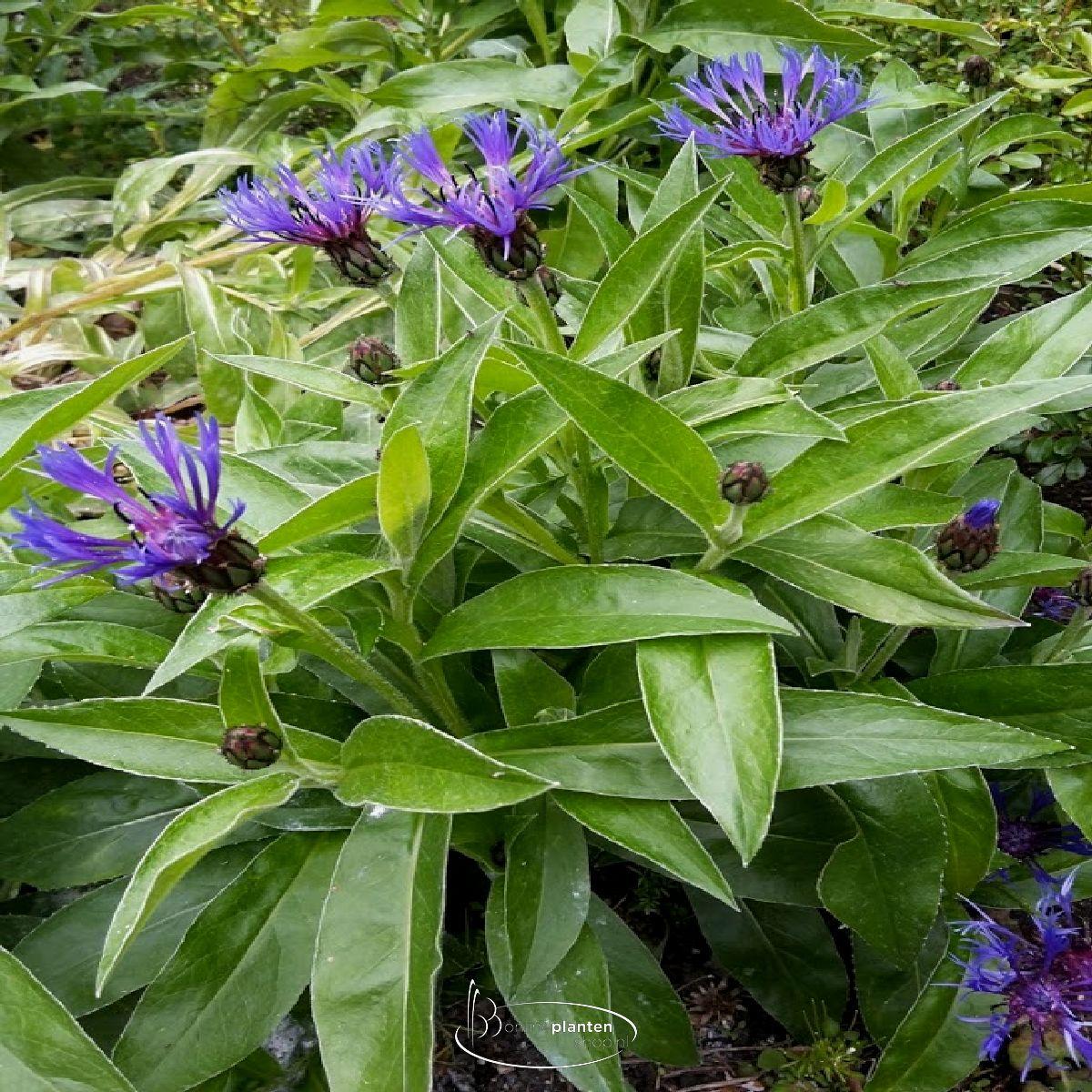 Centaurea Montana - Bergkorenbloem