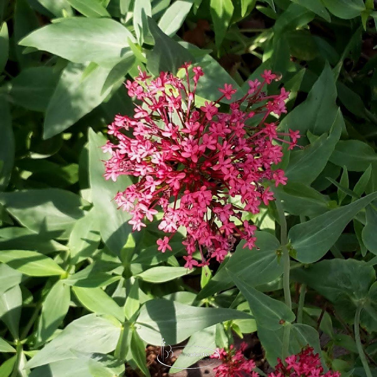 Centranthus ruber 'Coccineus' - Rode Valeriaan