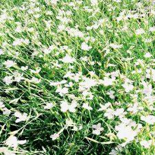 Dianthus deltoides 'Albiflorus' - Anjer