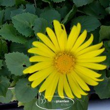 Doronicum orientale - Voorjaarszonnebloem