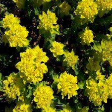 Euphorbia polychroma - Wolfsmelk