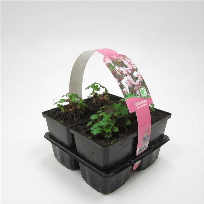 Ooievaarsbek Geranium cantabrigiense Biokovo Bodembedekker