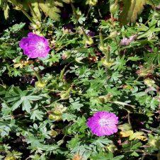 Ooievaarsbek Geranium sanguineum Max Frei Bodembedekker