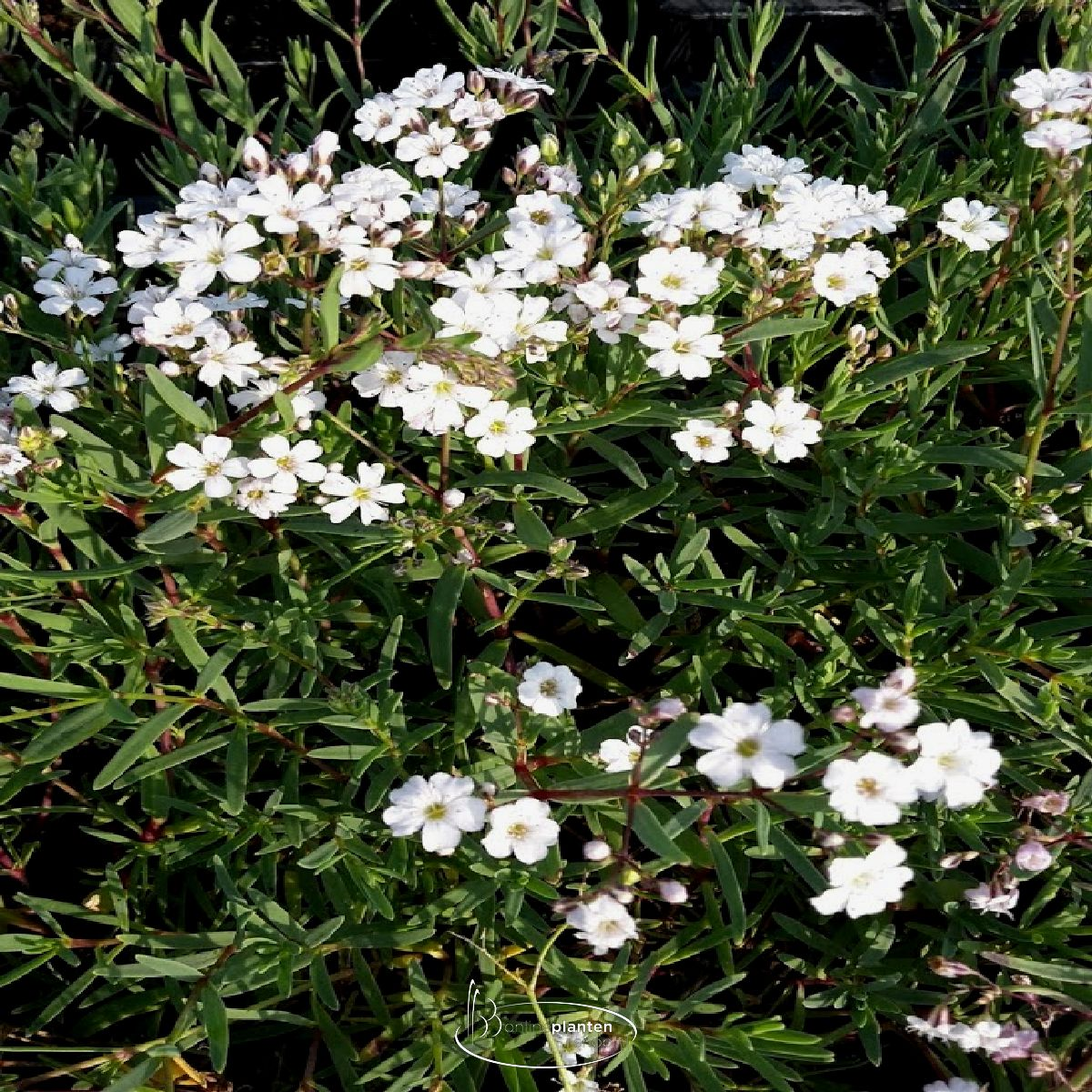 Gysophila repens - Gipskruid