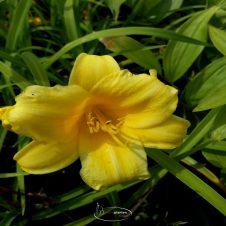 Hemerocallis 'Stella de Oro' - Daglelie