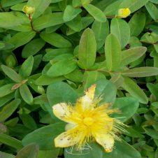 Herfsthooi Hypericum calycinum Bodembedekker