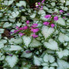 Lamium maculatum 'Beacon Silver' - Dovenetel