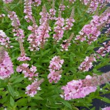 Lythrum salicaria 'Blush' - Kattenstaart