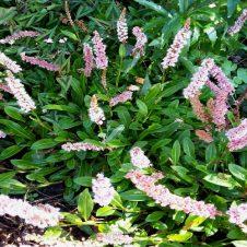 Persicaria affinis 'Superba' - Duizendknoop