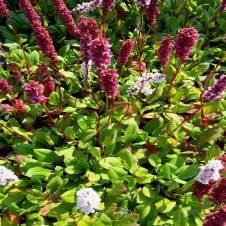 Persicaria affinis 'Kabouter' - Duizendknoop