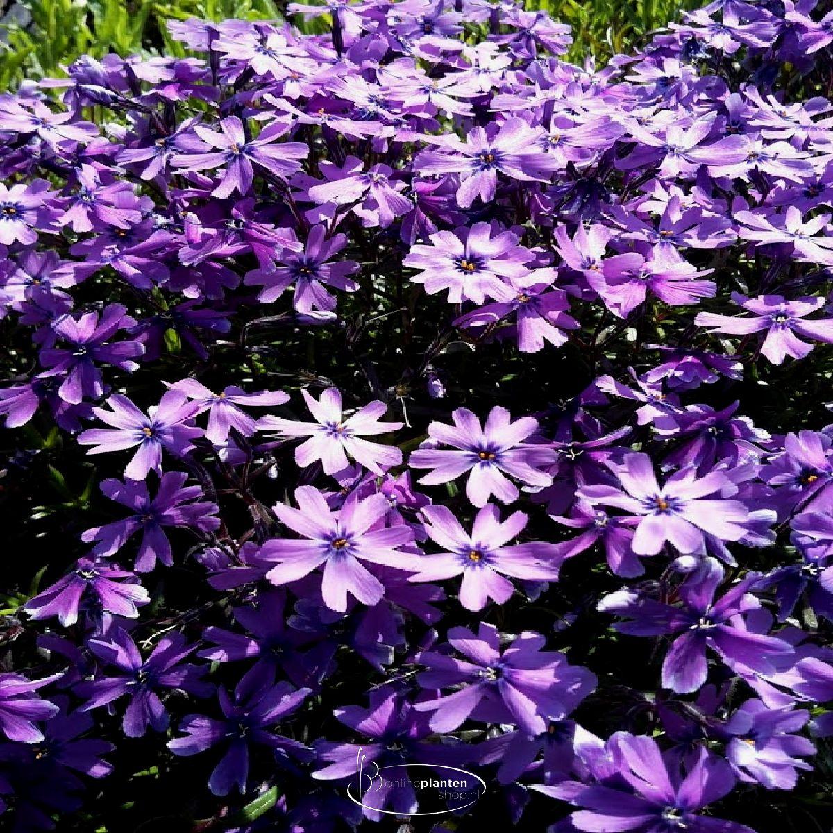 Vlambloem 'Purple Beauty'