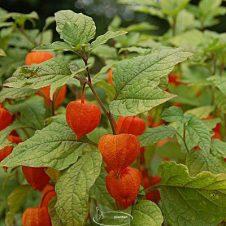Physalis alkekengi - Lampionplant