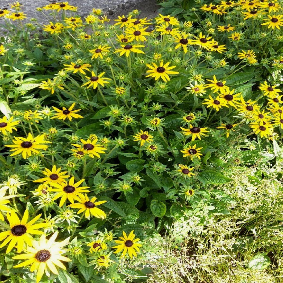 Rudbeckia fulgida 'Little Goldstar' - Zonnehoed