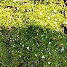 Sagina subulata 'Senior' - Vetmuur