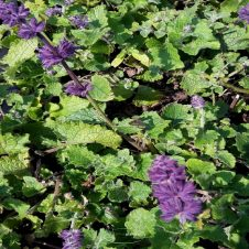 Salie 'Purple Rain'