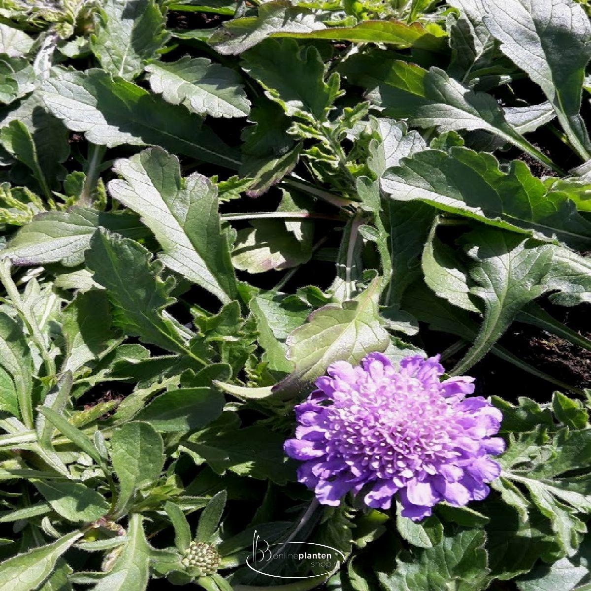 Scabiosa columbaria 'Butterfly Blue' - Duifkruid