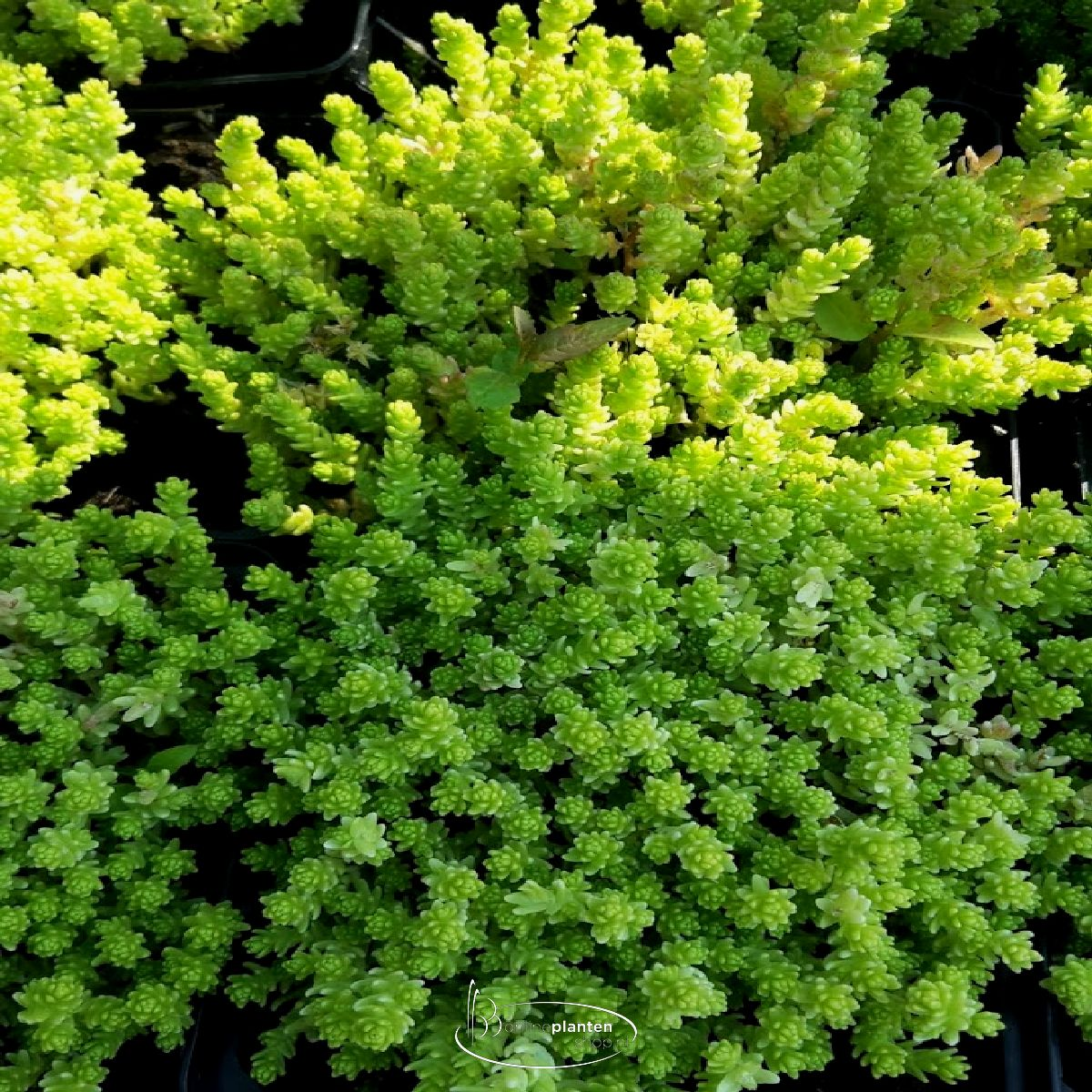 Sedum Acre 'Yellow Queen' - Vetkruid