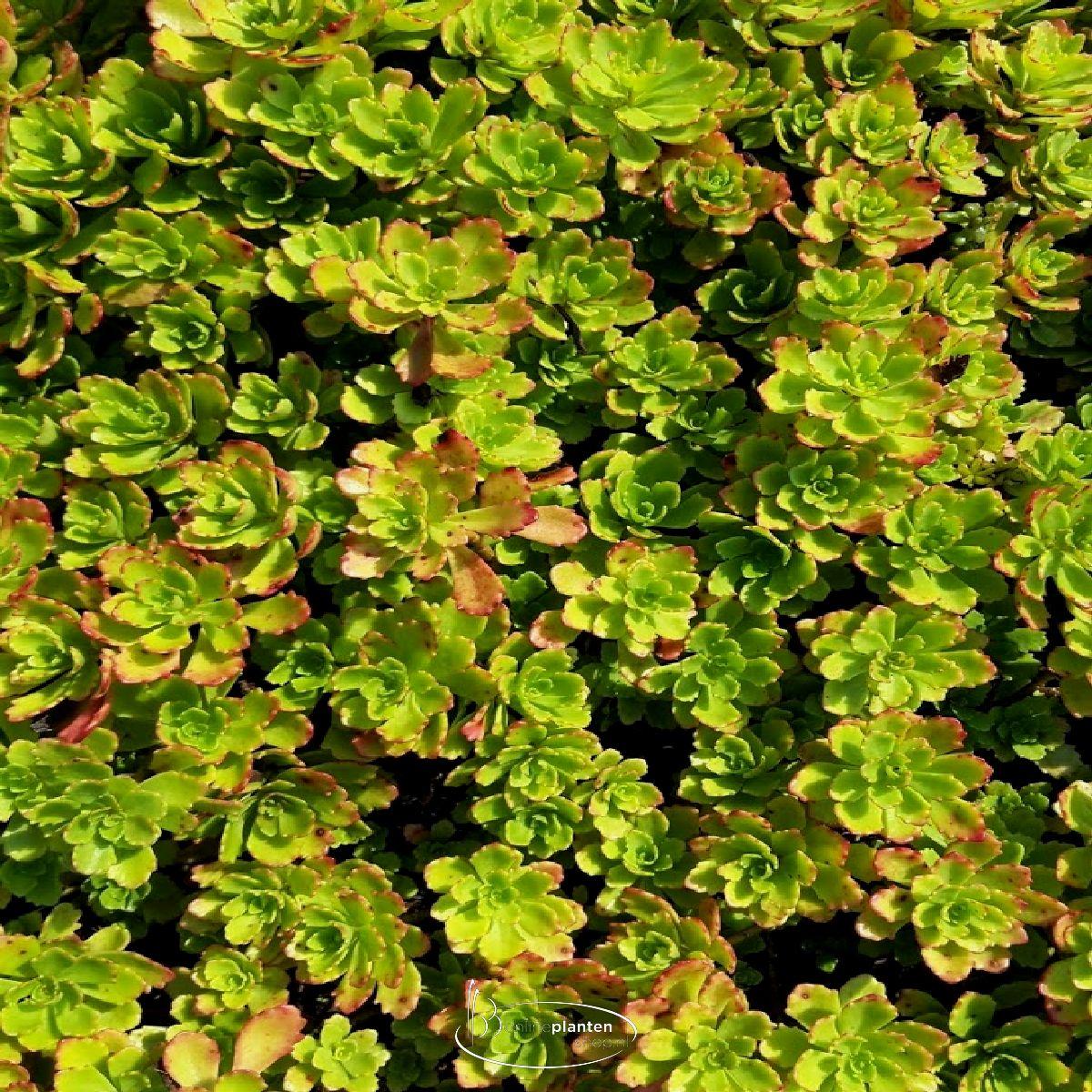 Sedum Floriferum 'Weihenstephaner Gold' - Vetkruid