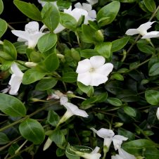 Vinca minor 'Atropurpurea' - Maagdenpalm