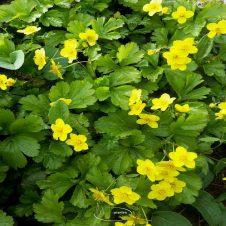 Waldsteinia ternata - Goudaardbei