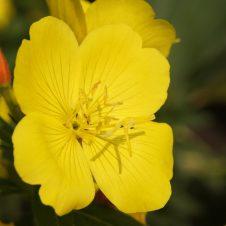 oenothera speciosa teunisbloem