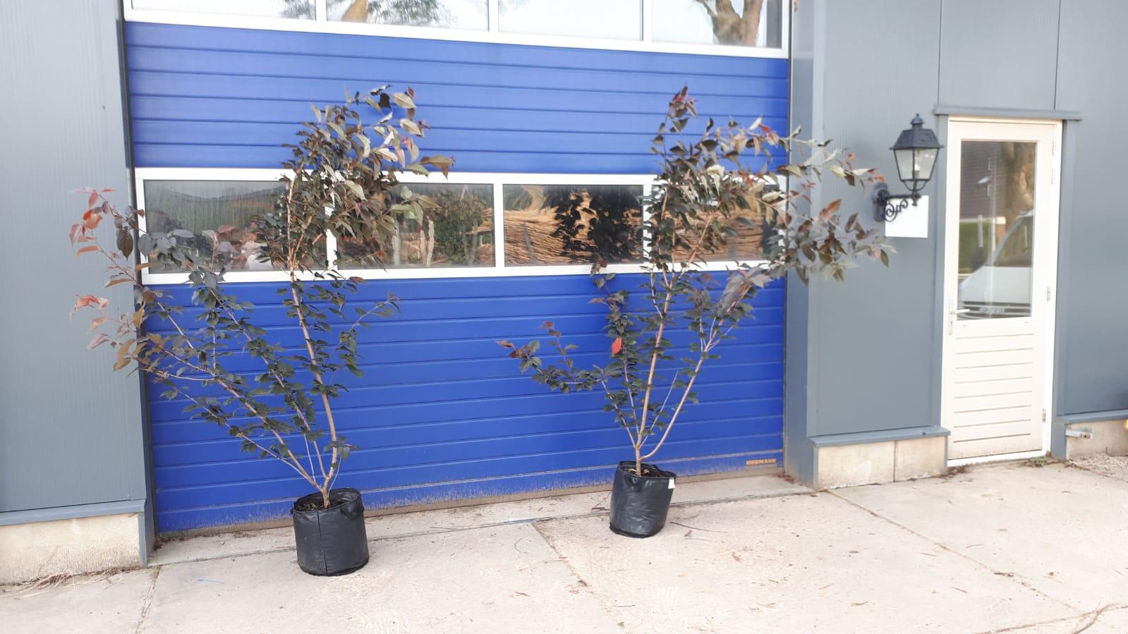 Prunus Royal Burgundy - meerstammig