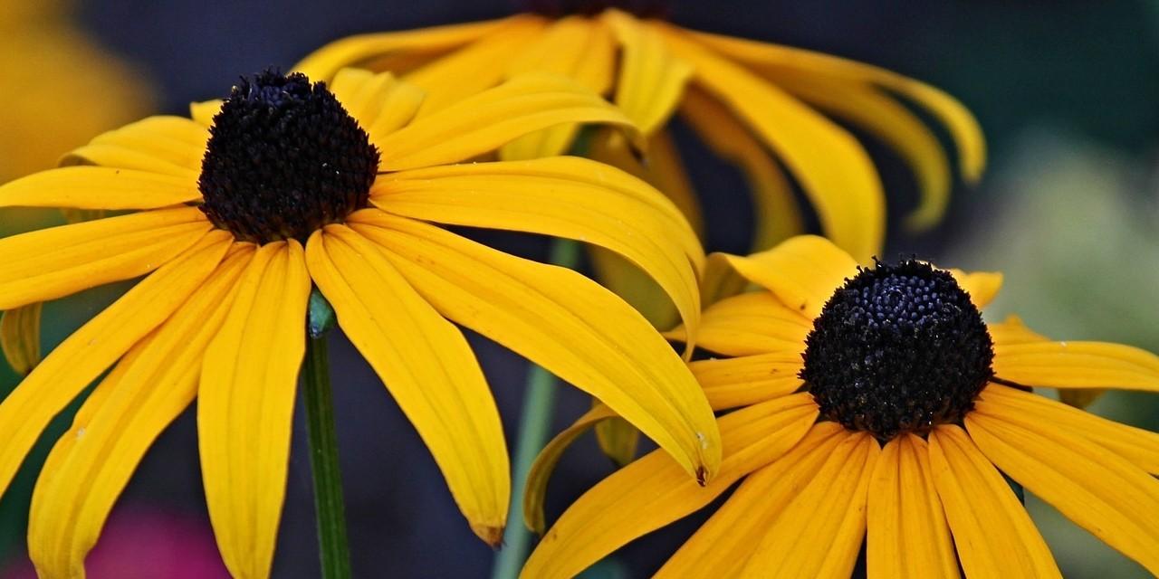 vaste planten soorten zonnehoed