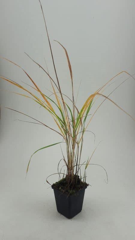 Struisriet Calamagrostis acutiflora Karl Foerster Siergras