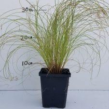 Carex comans Frosted Curls - Zegge