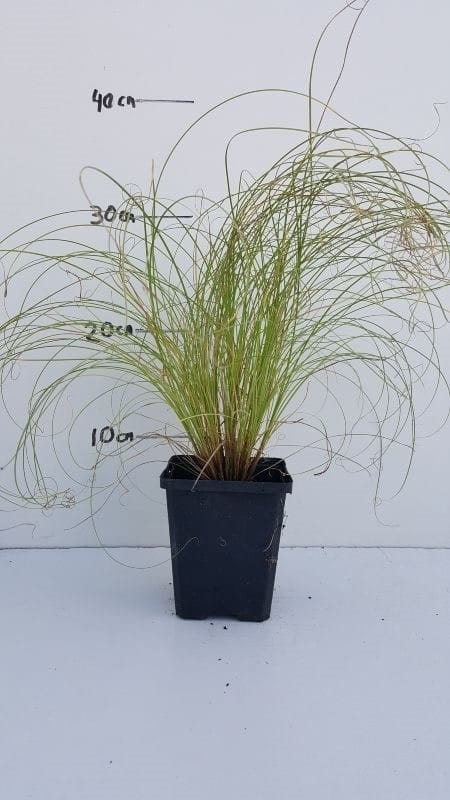 Carex comans Frosted Curls - Zegge