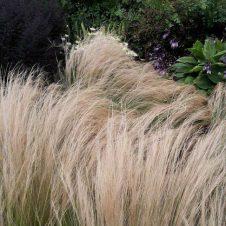 Stipa tenuifolia – Vedergras
