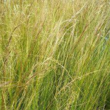 Stipa tenuifolia Pony Tails - Vedergras