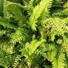 Polystichum setiferum Proliferum – Broedvaren