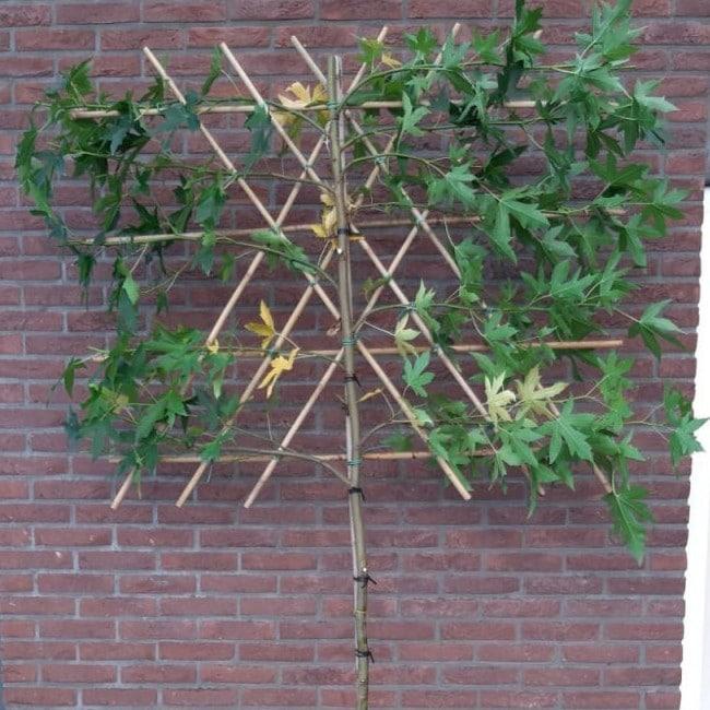Leiamberboom