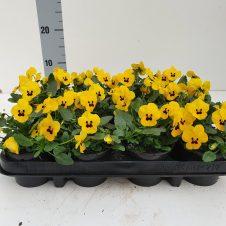 Bosviool geel Viola Cornuta