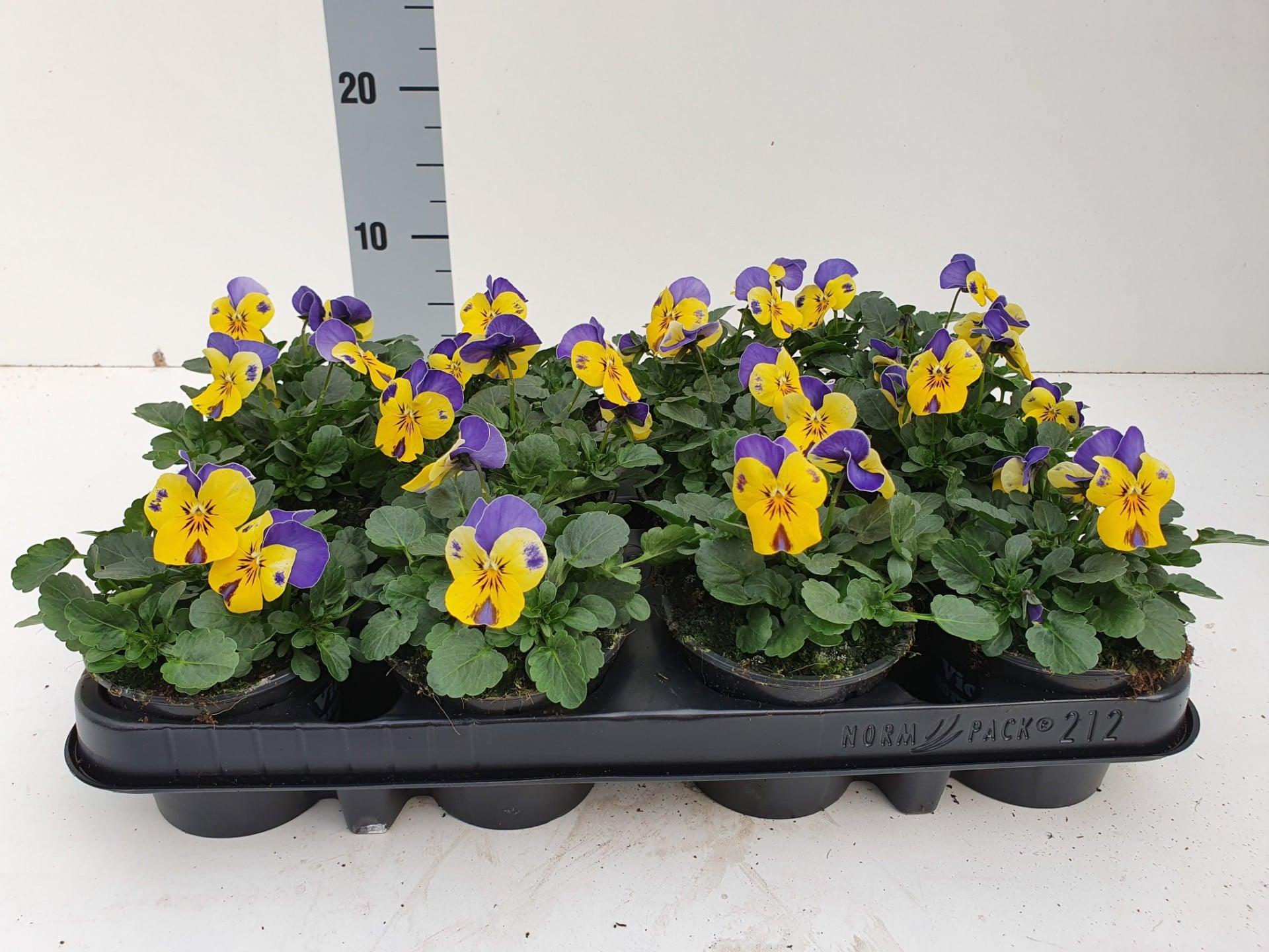 Bosviool geel blauw Viola Cornuta