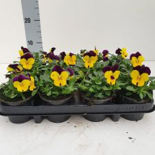 Bosviool geel paars Viola Cornuta