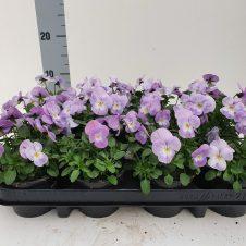 Bosviool lila Viola Cornuta