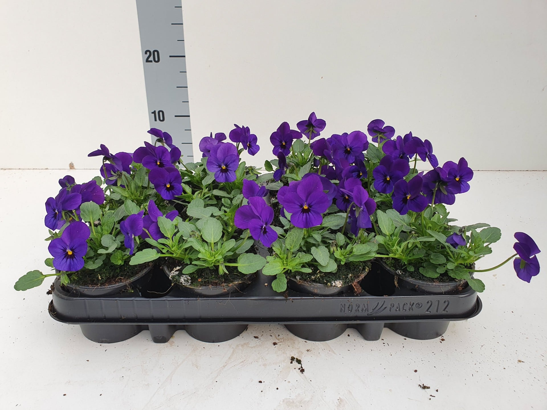 Bosviool paars Viola Cornuta