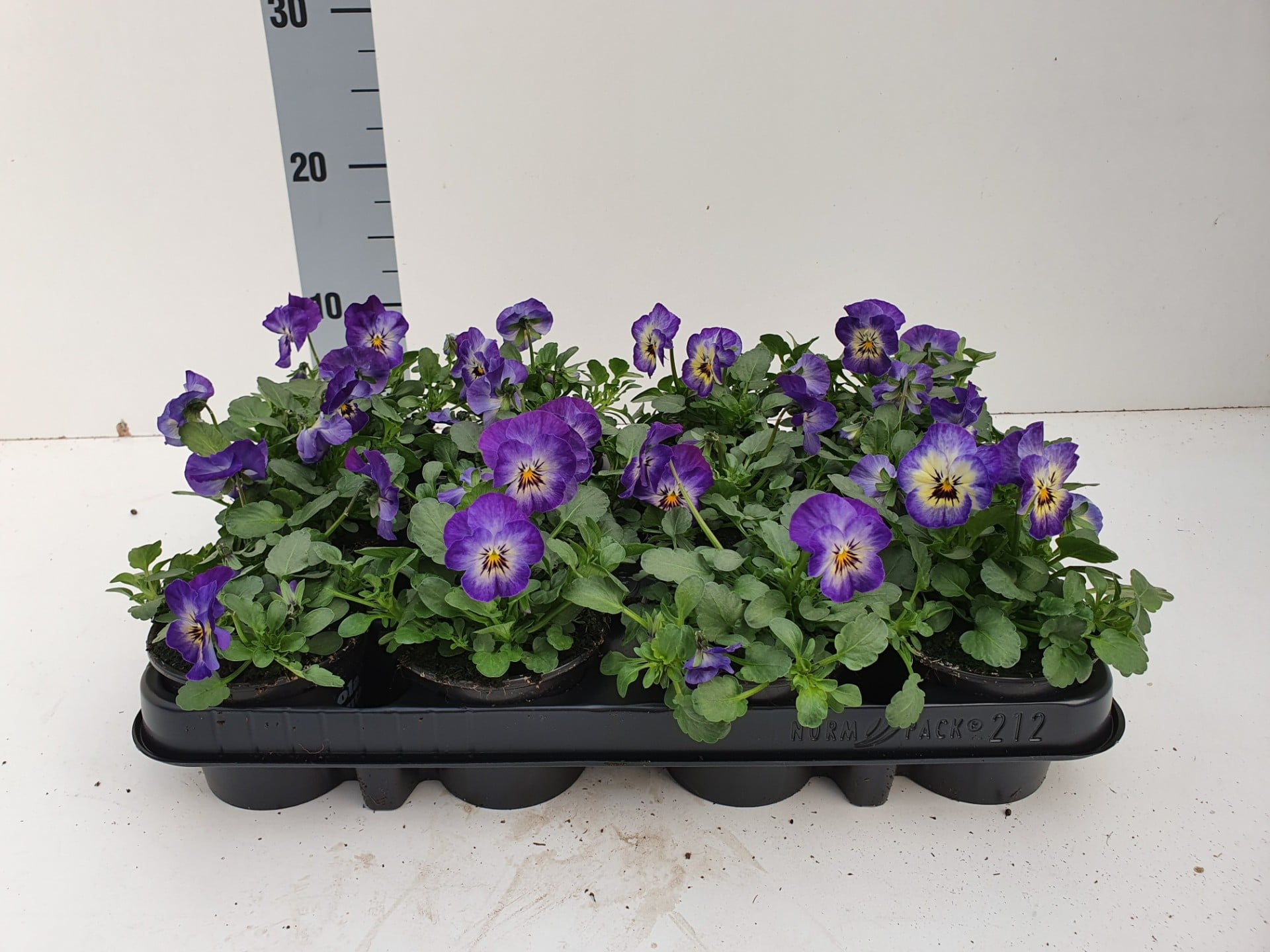 Bosviool paars met witgeel hart Viola Cornuta