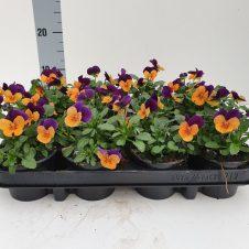 Bosviool paars oranje Viola Cornuta